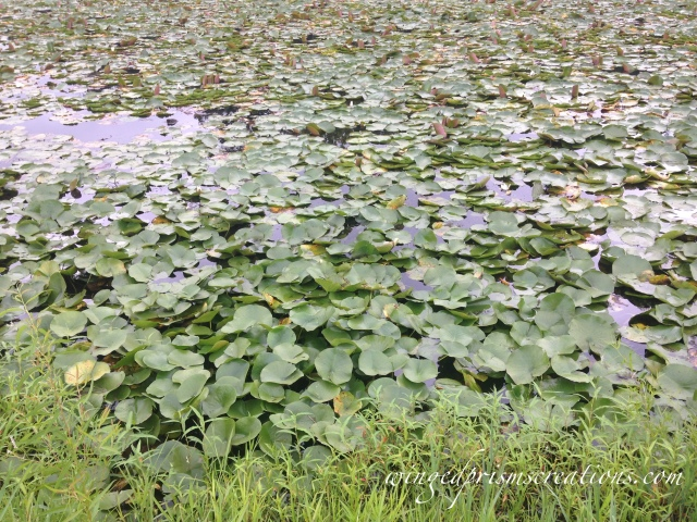 Water Lilies Everywhere