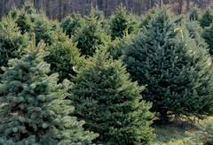 commercial tree farm