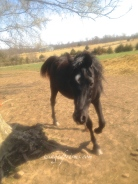 The Stallion