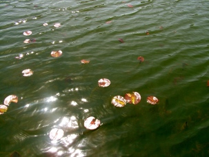 lily pads are coming back