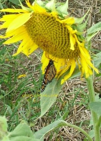 monarch of the field