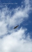 Osprey over the lake