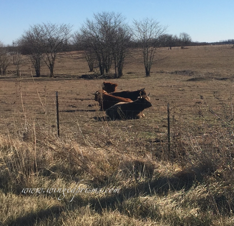 Missouri Highland Cattle