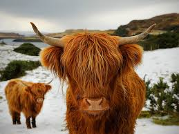 image from a google search - Highland Cattle