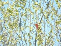 elusive cardinal