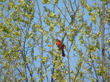 again - elusive cardinal
